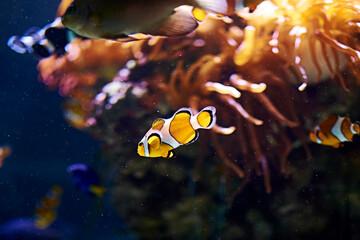 Clown fish swimming in the ocean Wall mural