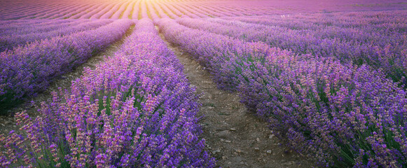 Texture of lavender meadow.