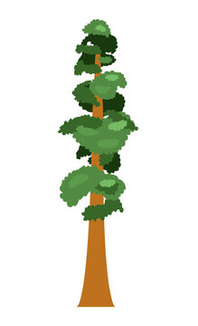 Sequoia. Isolated tree on a white background. Vector illustration.