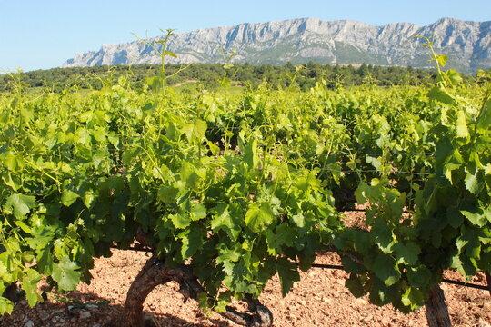Vignoble de Provence au pieds de la Montagne Sainte Victoire