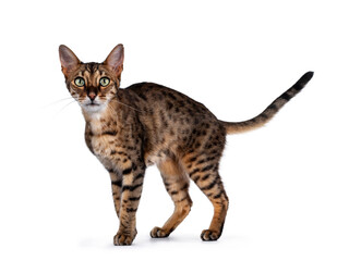 Wall Mural - Cute F6 Savannah cat standing / walking side ways. Looking at camera with green eyes and tail fierce in air. Isolated on white background.