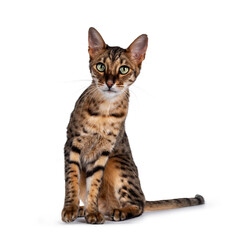Wall Mural - Cute F6 Savannah cat sitting up straight facing front. Looking at camera with green eyes and cute head tilt. Isolated on white background. Tail beside body.