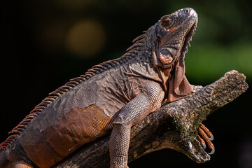 Brown massive Iguana reptile lying and basking on a protruding branch close up Wall mural