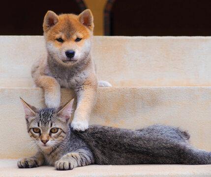Shiba Inu puppy and his friend striped kitten