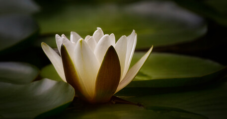 White waterlily (Nymphaeaceae) in pond, close-up nature photography, dreamy style