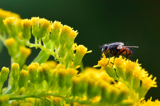 Fly (Eriothrix rufomaculata) on yellow Canadian goldenrod (Solidago canadensis) flowers in summer, Europe