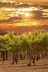 Grape vineyard sunset with sun flares of golden light