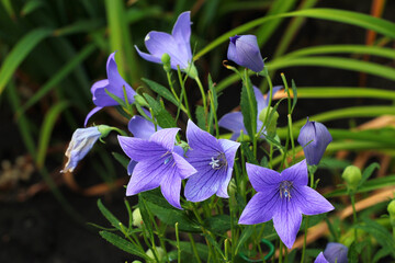 Platycodon grandiflorus or Chinese bellflower in a garden