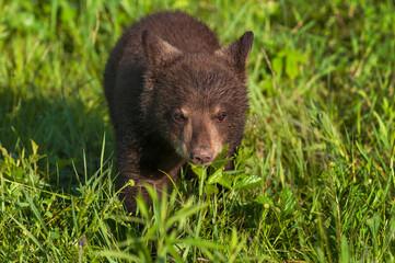 Wall Mural - Black Bear Cub (Ursus americanus) Steps Forward Through Grass Summer