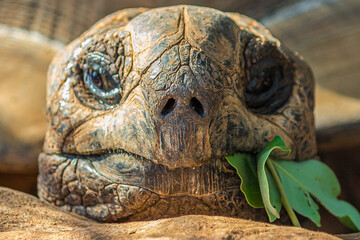 Portrait of a large elephant tortoise (Chelonoidis elephantopus) eats a branch with leaves. It is also known as Galapagos tortoise. Modern Galapagos tortoises can weigh up to 417 kg (919 lb).