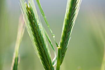 Żyto zwyczajne Secale cereale w deszczu