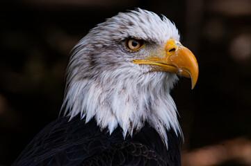 American eagle profile - fototapety na wymiar