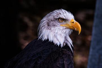 American eagle ver2 - fototapety na wymiar