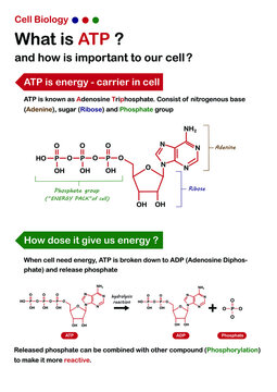 Scientific infographic explain about ATP (Adenosine triphosphate) and how does it work for cell biology?
