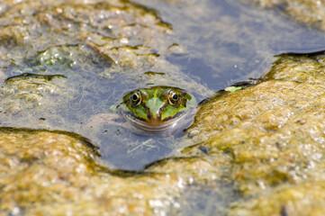 Printed roller blinds Frog frog in the pond