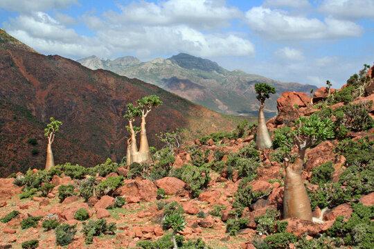 The Socotra desert rose, or bottle tree (Adenium obesum, subspecies socotranum), found only on the island of Socotra, Yemen.