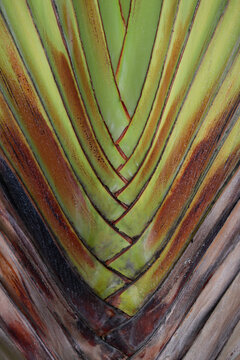 the texture of the banana fan ornamental plant sheath