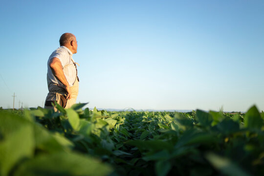 Senior farmer agronomist in soybean field overlooking and checking crops before harvest. Organic food production and cultivation.