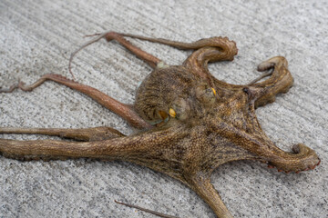 Photo of an octopus crawling on the ground