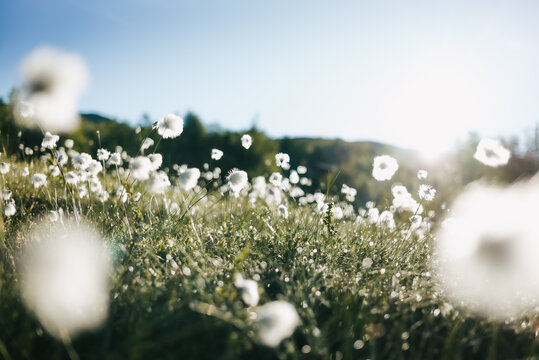Cotton grass in the Norwegian mountains.