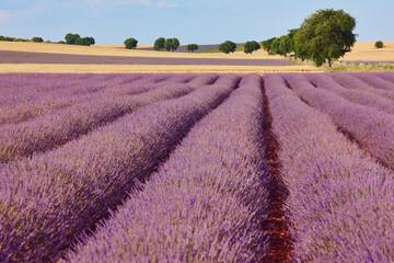 Lavender fields in summer. Guadalajara, Spain