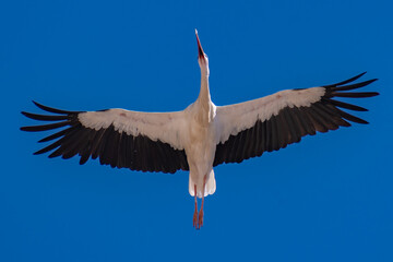 White Stork at the cathedral of Torrelaguna (Madrid, Spain)