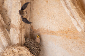 Swallows at the Cathedral of Torrelaguna, Spain