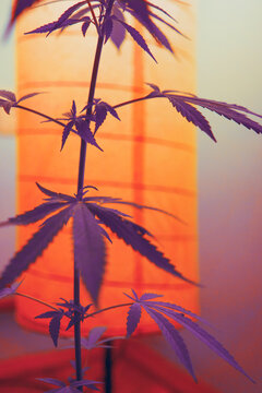 Vibrant and funky colored cannabis/marijuana background/plant under the lights