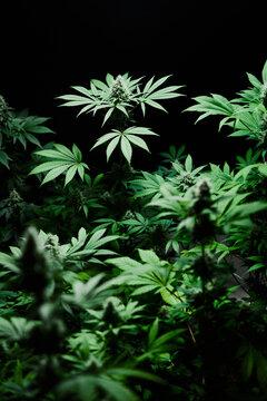 budding cannabis plant