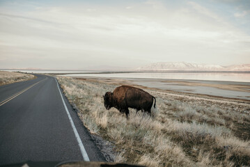 A bison by the road in antelope island