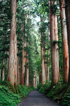 Straight Way Lined with Huge Sequoia Trees at Japanese Shrine