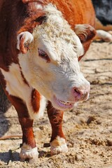 A white and brown cow