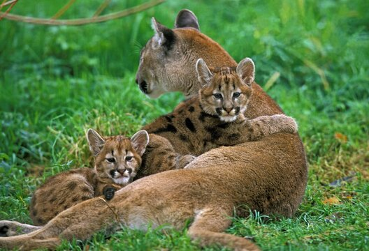 COUGAR puma concolor, MOTHER WITH CUBS