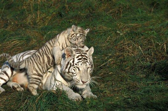 WHITE TIGER panthera tigris, CUB PLAYING ON BACK OF ITS MOTHER