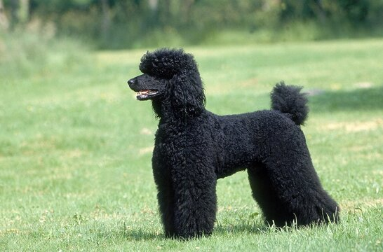 BLACK GIANT POODLE, ADULT STANDING ON GRASS