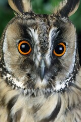 LONG-EARED OWL asio otus, PORTRAIT OF ADULT, NORMANDY