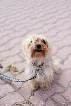 Cute Yorkshite Terrier.