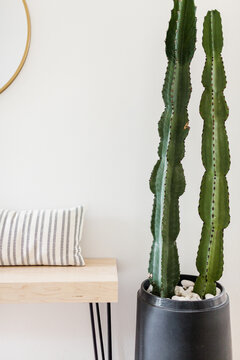 Large Cactus in Mid Century Entryway