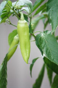 Organic sweet banana pepper