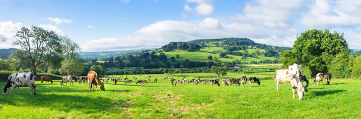 A herd of dairy Holstein cattle grazing in field allong the Wye Valley in the peak District of Derbyshire. Peaktor or Pictor in the background