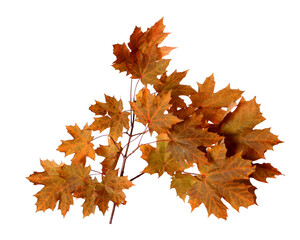 Branch of autumn maple tree leaves isolated on white background