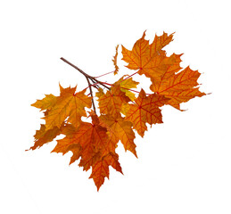 Branch of autumn red maple leaves isolated on white background