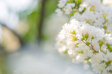 Photo sur Aluminium Muguet de mai 白い花