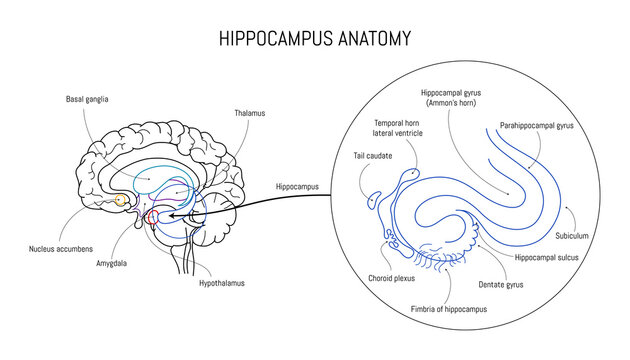 Hippocampus anatomy and structure. Neuroscience infographic on white background. Human brain lobes and sections illustration. Neurobiology scientific futuristic medical vector