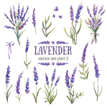 Vector illustration of lavender. Watercolor hand-painted. Flowers, branches, bouquets of lavender. Provence