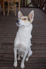 Full Body portrait of young cross-breed of hunting and northern white dog looking up while sitting on a wooden floor.