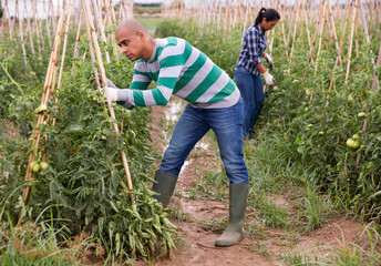 Skilled young adult Latino male farmer checking growing green tomatoes in greenhouse