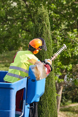 Gardener pruning a cypress on a crane. Seasonal