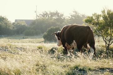 Wall Mural - Hereford bull walking through farm field during sunrise.