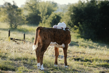 Wall Mural - Hereford beef calf grooming self close up on farm during summer in pasture.